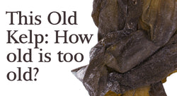 This old kelp… how old is too old? Can seaweed expire? | Maine Coast Sea Vegetables