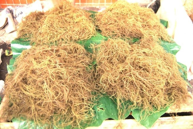 Gracilaria sea moss dried