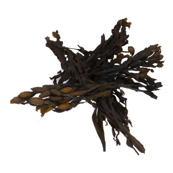 Bladderwrack Whole Leaf - Wild Atlantic - Organic SAMPLE - Maine Coast Sea Vegetables
