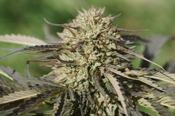 Kush Hemp E1 - Feminized Seeds