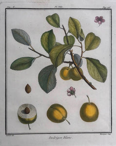 Pedrigon Blanc  Copper engraving by Henriquez after Aubriet ca 1780. Attractive hand coloring.  Very good condition.