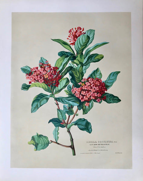 "Anton Hartinger  ""Paradisus Vindobonensis"" (Viennese Paradise)  Important Filiacae, Amaryllidae and other flowers, Ixora Coccinea. Linn.  Nat. Ord. Rubiaceae Vaterl. Ost Indien Aus d. k.k. Hofgart. zu Schoenbrunn"