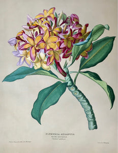 "Plumeria Aurantia  Nat. Ord. Apocynceae Vaterland Unbekannt  Page size: 56.2 x 42.3 cm ( 22.1 x 16.6 "") Image size: 45.5 x 35 cm ( 17.9 x 13.7 "")  Anton Hartinger  ""Paradisus Vindobonensis"" (Viennese Paradise)  Important Filiacae, Amaryllidae and other flowers"