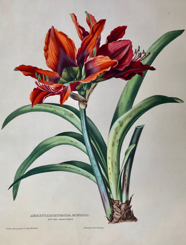 "Hartinger,    Amaryllis (Hybrida, Miniata),  Nat. Ord. Amarylideae.  Page size: 56.2 x 42.3 cm ( 22.1 x 16.6 "") Image size: 44.7 x 34.2 cm ( 17.6 x 13.4 "")  Anton Hartinger  ""Paradisus Vindobonensis"" (Viennese Paradise)  Important Filiacae, Amaryllidae and other flowers  We are certain that anyone seeing the following spectacular chromolithographs of assorted flowers in extraordinarily splendid and stunning hand-color-finishing"