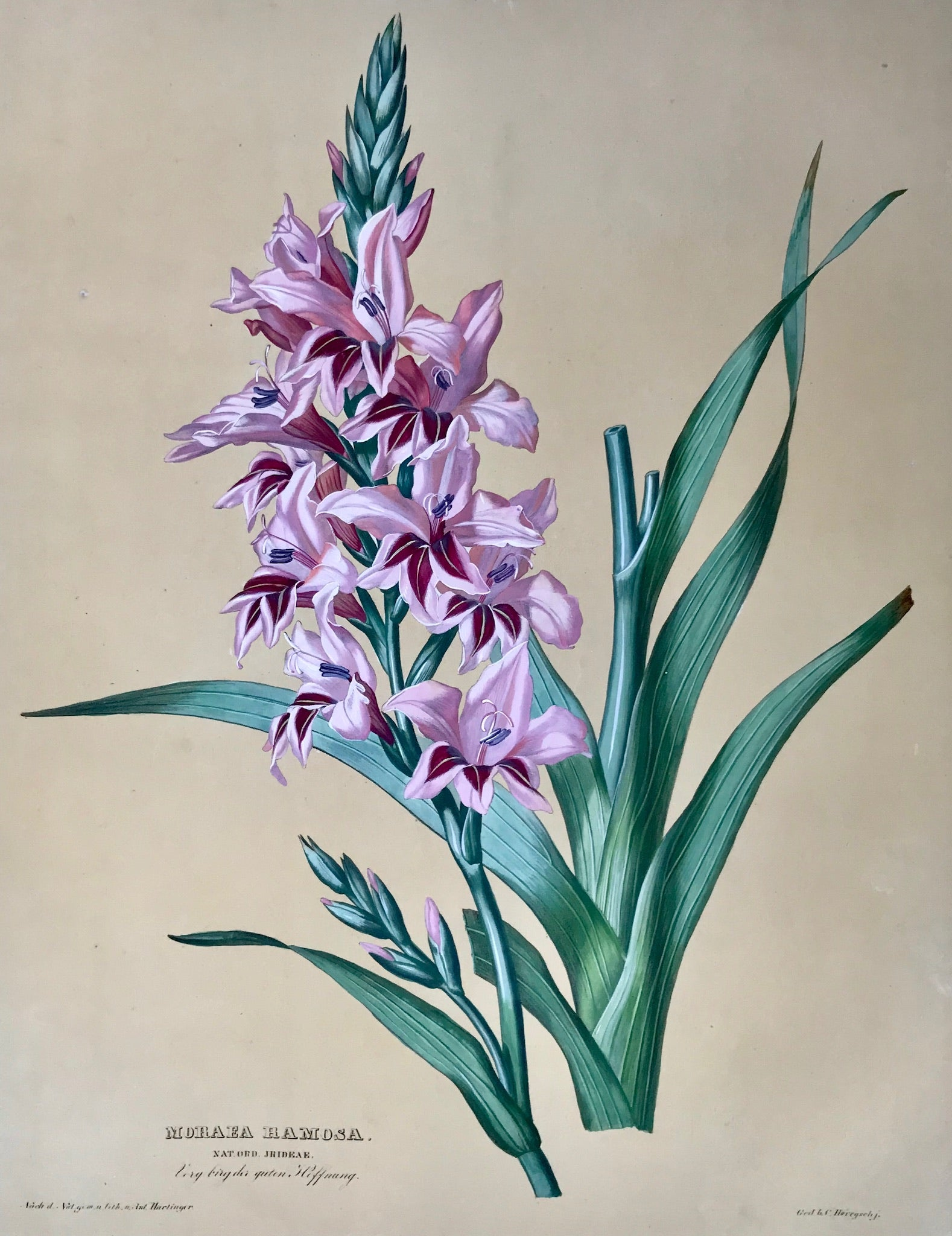 Anton Hartinger, Nat. Ord. Irideae, Iris, South Africa