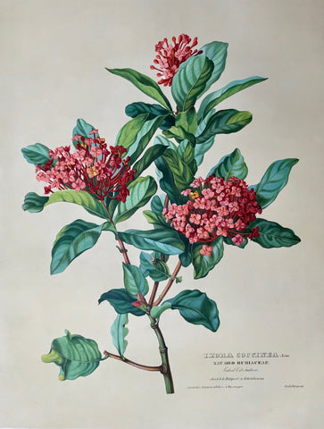 Anton Hartinger: Ixora Coccinea. Linn, Nat. Ord. Rubiaceae, Vaterl. Ost Indien