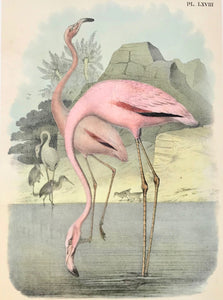 Birds, No title. Flamingo. Anonymous chromo-lithograph, the flamingos very  attractively hand-finished. Ca. 1880.