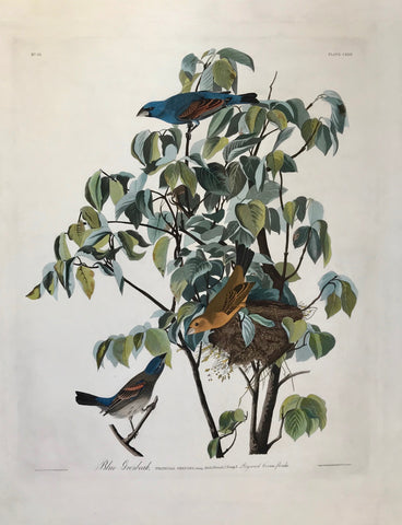 "Audubon - Havell edition (1826-1838)  ""Blue Grosbeak, Fringilla Coerulea, Bonap Male, 1. Female, 2. Young, 3. Dogwood Cornus florida""  Copper etching by John James Audubon (1785 - 1851)  Numbering: Upper left: N° 25. Upper right: PLATE CXXII  In line with title on left side: Drawn from Nature by J.J. Audubon F,R,S.F,L,S.  In line with title on right side: Engraved, Printed & Coloured by R. Havell, London.  Watermark: Whatman 1836"