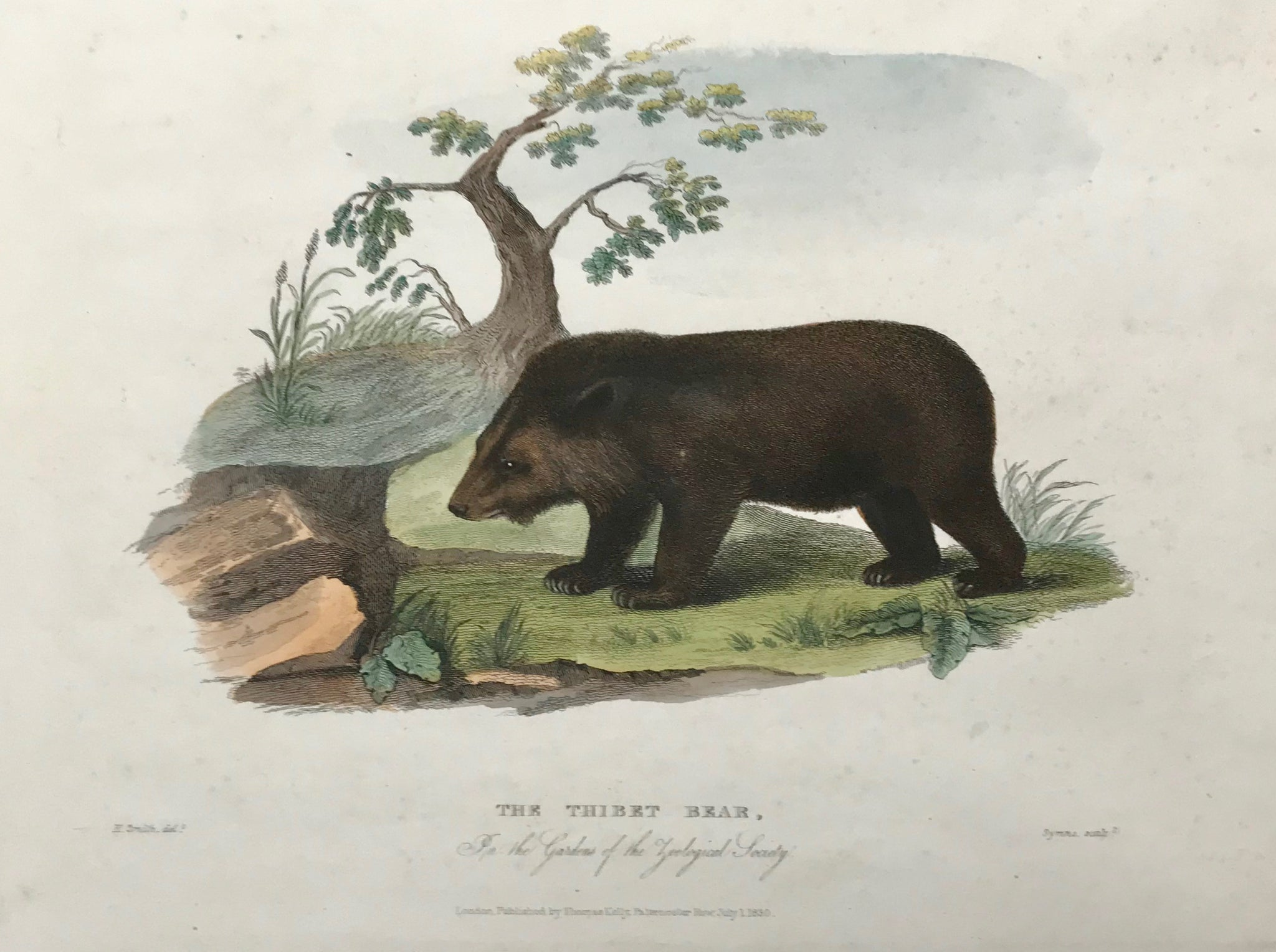 The Thibet Bear in the Gardens of the Zoological Society