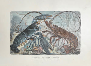 """Lobster and Spiny Lobster""  Wood engraving ca 1885. Modern ahnd coloring.  13 x 21 cm ( 5.1 x 8.2 "")"