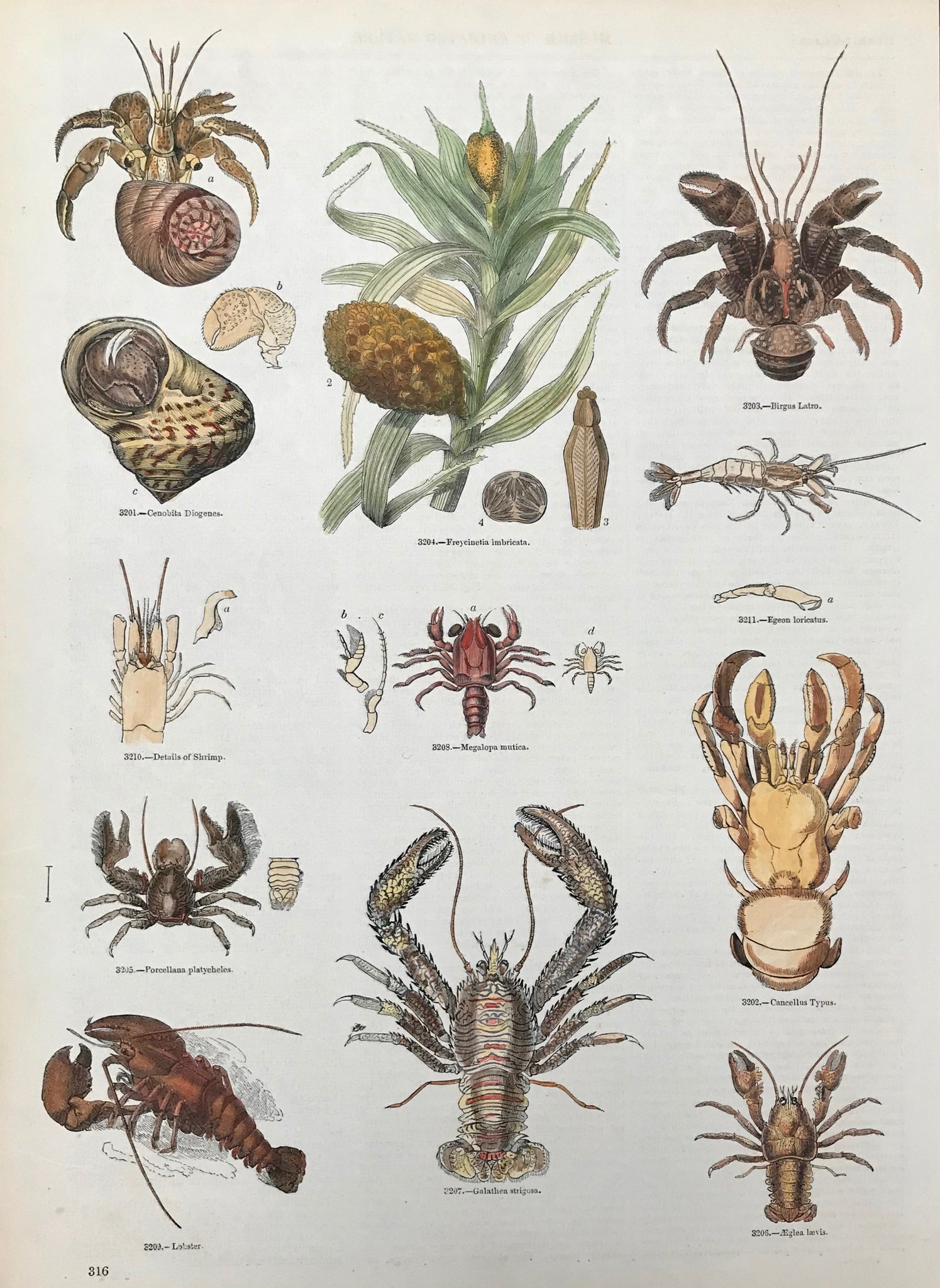 Cenobita Diogenes, Freycinetia imbricata, Birgus Latro, Details of a shrimp, Megalopa mutica, Egeon loricatus, Porcellana platycheles, Cancellus Typus, Lobster, Galathea Strigosa, Aeglea laevis  Wood engravings from an illustrated work ca 1875. Recent hand coloring. On the reverse side is text (in English) about these animals.