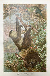 """Zweizehenfaultier"" (Choloepus didactylus - two-toed sloth )  Chromolithograph published 1895. Good condition."