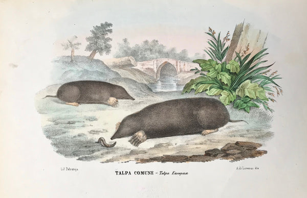 """Talpa Comune - Talpa Europea ""  Moles - Maulwurf  Fine lithograph by Lorenzo after Petraroja. Original hand coloring. Extra page of text in Italian about these shrews.  Rare and beautiful lithograph from the ""Atlante Zoologico Popolare"" published in Naples (1863) by Giovanni Boschi. The lithograph was made by Raimondo Petraroja."