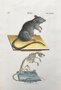 Rat: Die Ratte  Copper engraving by J. Meyer for Johann Michael Seligmann, ca 1760. Modern hand coloring.
