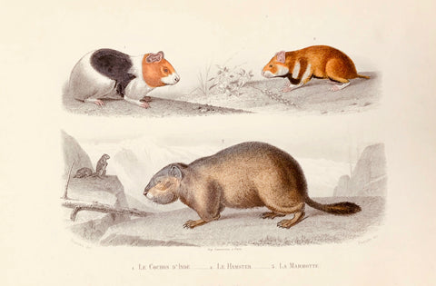 1. Le cochine D'Inde. 2. Le Hamster. 3. La Marmotte.  Steel engraving by Paquien after Travies, ca 1860. Original hand coloring.