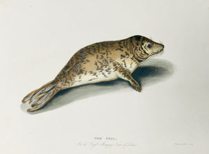 The Seal In the Royal Menagerie Tower of London. Engraved by W. Paromo. Published by Thomas Kelly. London, 1830.