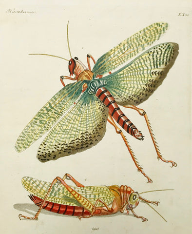 Grasshopper (Grillus cristatus)  Copper etching in original hand coloring, ca 1820. Text page with a description in French, Russian and German is included.