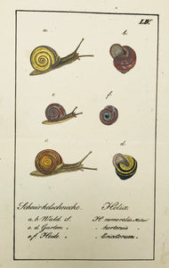 "Schnirkelschnecke Helix  Copper engraving ca 1800. Original hand coloring. Hardly visible horizontal fold.  18.5 x 10.5 cm ( 7.3 x 4.2 "")"