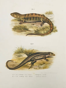 Die rauhhaltige Panzer Chalcide (Tropidogerrhon rudicollis) Die zweibindige Scink Chalcide ( aspidosaurus bifasciatus)  Lithographs printed in color by the k.k. Hof u. Staatsdruckerei ca 1875.