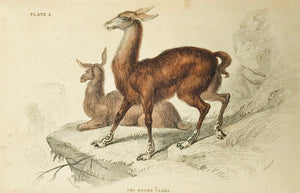 The Brown Llama  Steel etching by Lizars, ca 1860. Original hand coloring. Narrow bottom margin. A few very light spots.