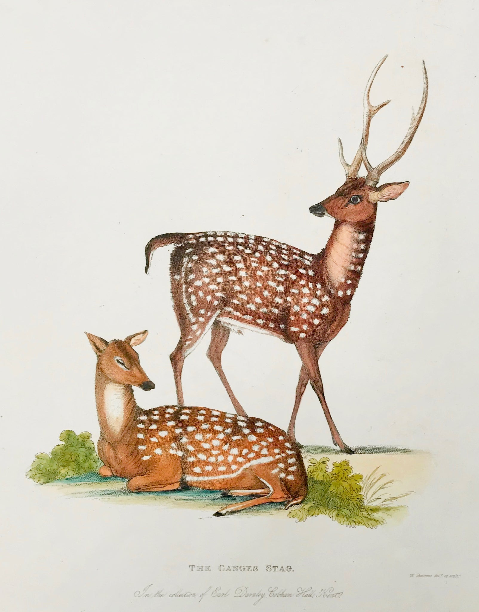 The Ganges Stag  In the Collection of Earl Darnby, Cobham Hall, Kent.  Published by Thomas Kelly in London, 1829  A series of copper etchings in zoologically correct and very fine modern coloring.