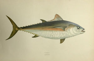 """Tunny""  Length of fish: 20 cm ( 7.8 "")    Antique Fish prints by Jonathan Couch  from: ""History of the Fishes of the British Islands""  Original hand-colored steel engravings by Jonathan Couch.  Published in London, 1870"