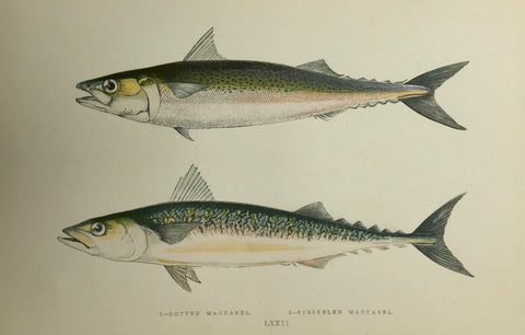 """1. Dotted Mackerel. 2. Scribbeled Mackerel""  Length of lower fish: 18.5 cm ( 7.2 "")  Antique Fish prints by Jonathan Couch  from: ""History of the Fishes of the British Islands""  Original hand-colored steel engravings by Jonathan Couch.  Published in London, 1870"