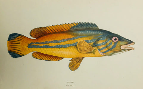 """Cook""  Length of fish: 20.5 cm ( 8 "")  Antique Fish prints by Jonathan Couch  from: ""History of the Fishes of the British Islands""  Original hand-colored steel engravings by Jonathan Couch.  Published in London, 1870"