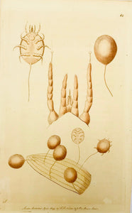 No title (Tick - Zecke - Acari - Ixodida)  Toned lithograph dated 1791. Published by Nodder in London. Minor signs of age.