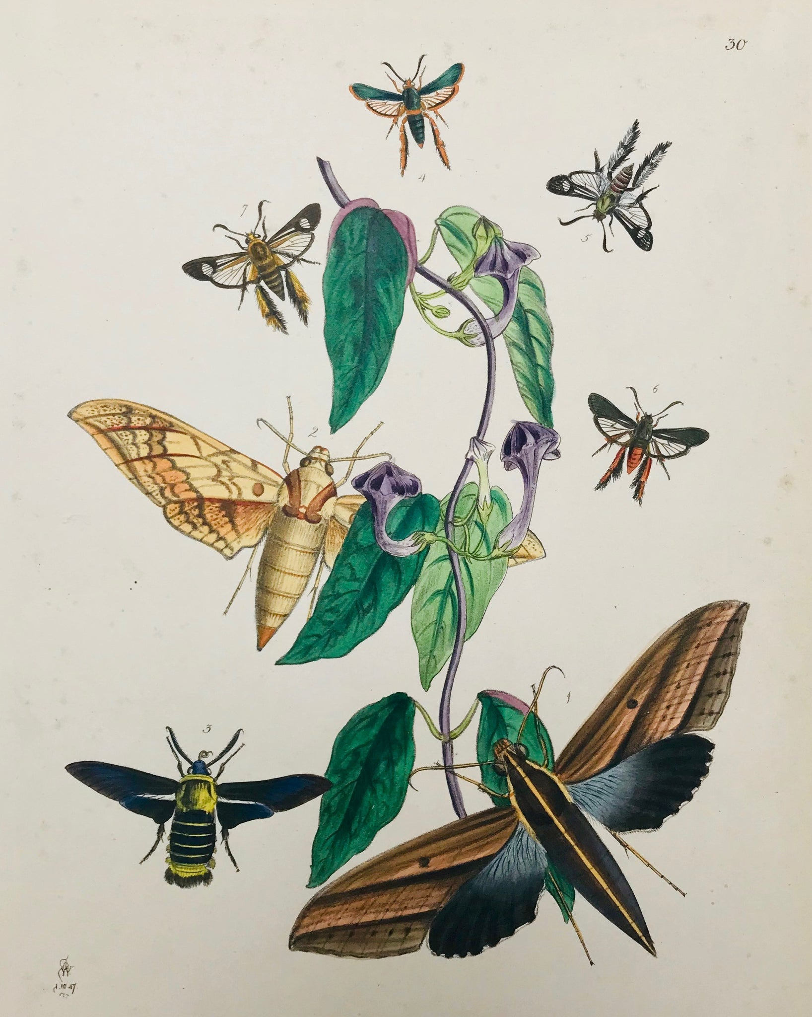 "Antique Lithographs of Butterflies, Moths and Flowers These very attractive lithographs have a very high decorative value. The botanically and entomologically correct original hand coloring makes them interesting for collectors of butterflies and moths as well as orchid lovers. Lithographs by John Obadiah Westwood from ""The Cabinet of Oriental Entomology"". Published in London, 1848."