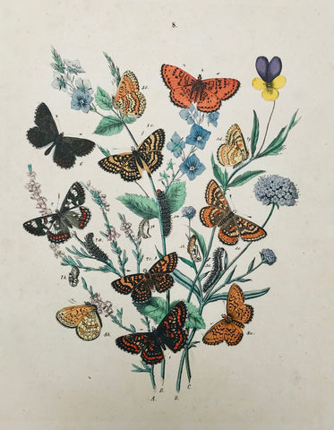 Antique Butterfly Prints  From F. Berge's Schmetterlingsbuch