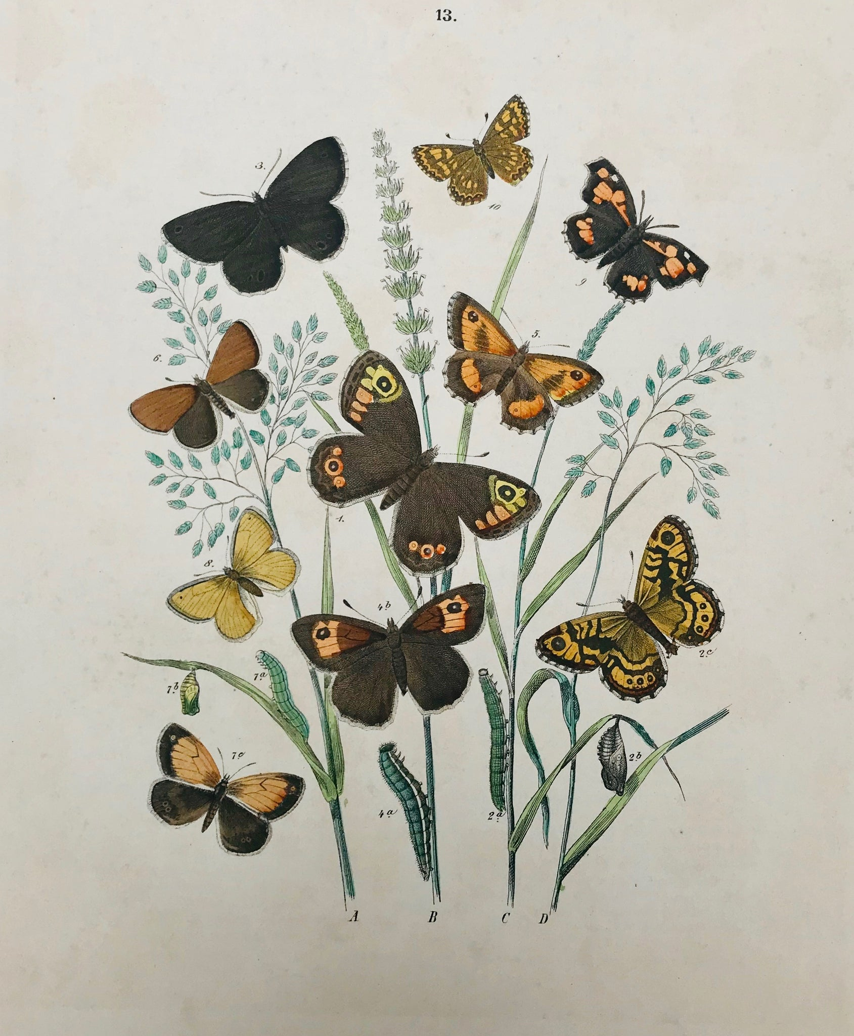 Arranged like colorful and beautiful flower bouquets, these attractive and decorative hand-colored lithographs show, with scientific accuracy, the colorful European world of butterflies and moths. While the scientist finds his Arctiidae, Drepanulidae, Geometridae, Psychidae or Zygaenidae, the lover of beauty finds his eyeful of pleasantry, enjoying multitude and arrangement and the abundance of color