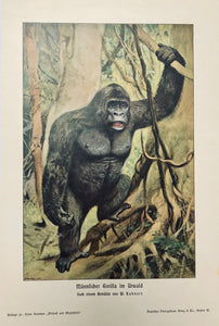 "Gorilla: ""Maennlicher Gorilla im Urwald""  Wood engraving printed in color after a painting by Wilhelm Kuhnert 1904."
