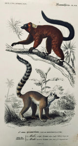 "Monkeys: ""Ordre des Primates"" ""1. Maki rouge (Lemur ruber)"" ""2. Maki mococo (Lemur catta)""  Fine steel engraving by Annedouche after Travies ca 1855."