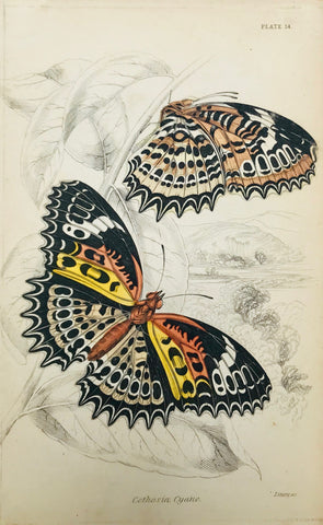 """Cethosia Cyane.""  Steel engraving by Lizars in original hand coloring. From ""Naturalist´s Library"", ca 1860."