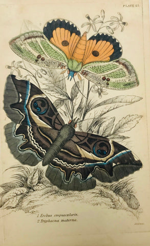 """Erebus crepuscularis Triphaena materna""  Steel engraving by Lizars in original hand coloring. From ""Naturalist´s Library"", ca 1860. Left margin is narrow with light creases."