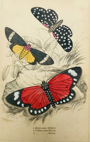 """Hypercampa Sibaris Callimphora Helcita Phileta""  Steel engraving by Lizars in original hand coloring. From ""Naturalist´s Library"", ca 1860. Light age toning."
