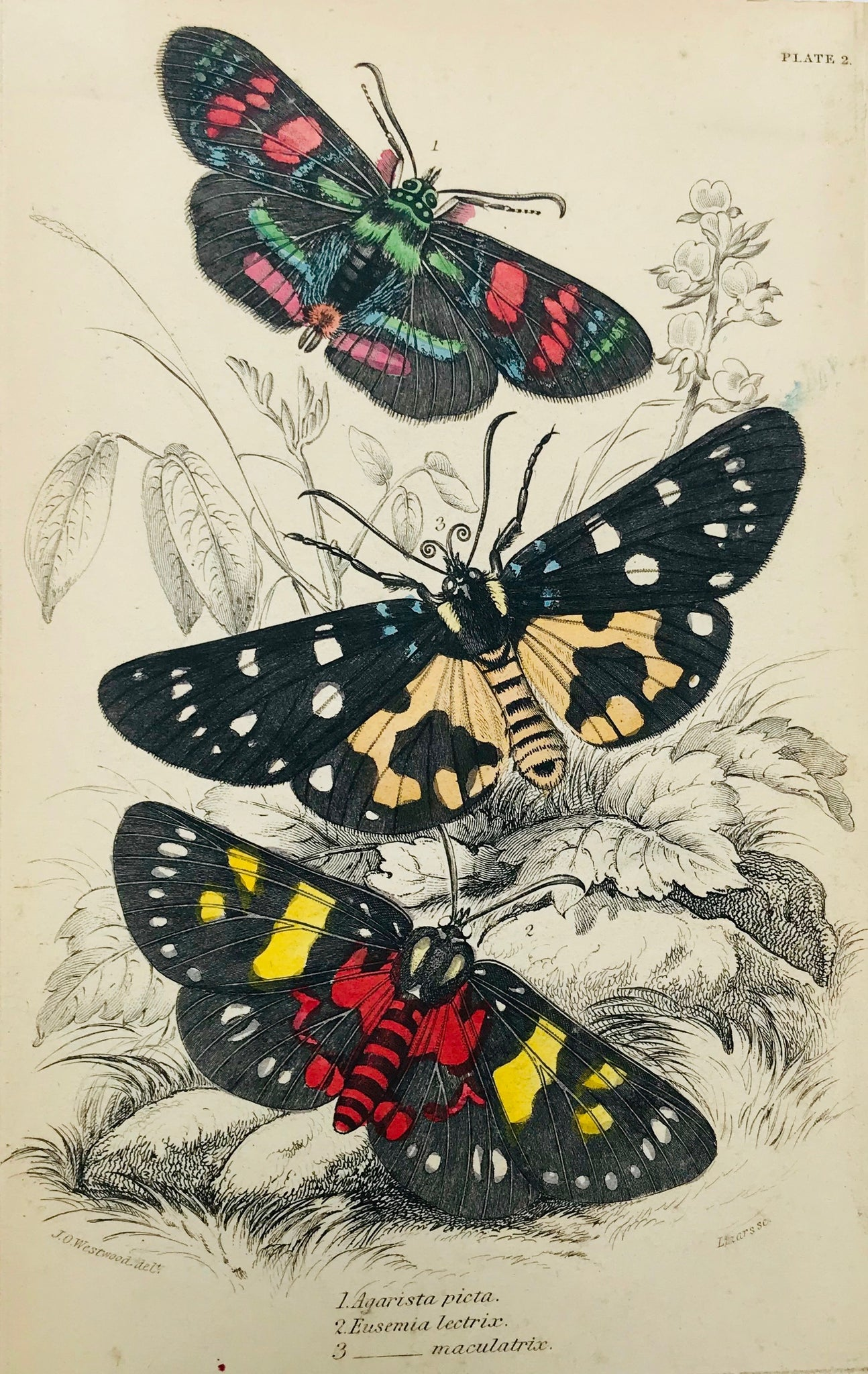 """Agarista picta. Eusemia lectris. Maculatrix""  Steel engraving by Lizars in original hand coloring. From ""Naturalist´s Library"", ca 1860. Light age toning."