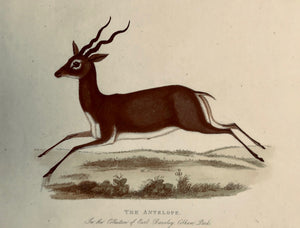The Antilope
