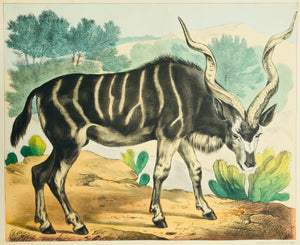 "Antilope: ""Kudu""  Fine lithograph by the Verlag Jos. Scholz in Mainz, ca 1880.  Original hand coloring.  Lower and upper margins are narrow. On the reverse side in the upper corners are rests of earlier montage."