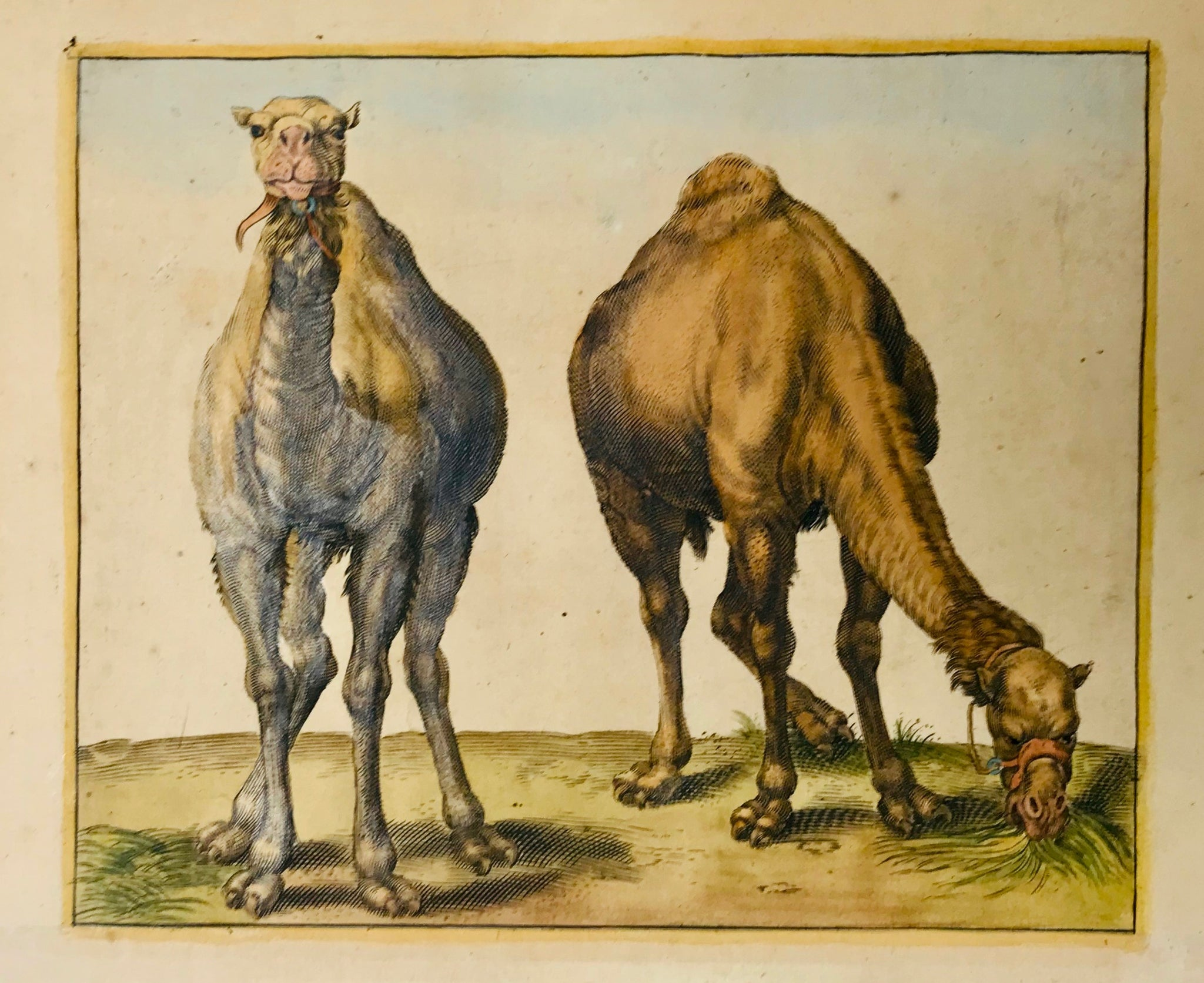 Camels: No title  Copper engraving ca 1760. Hand colored with eggwhite emphasis.