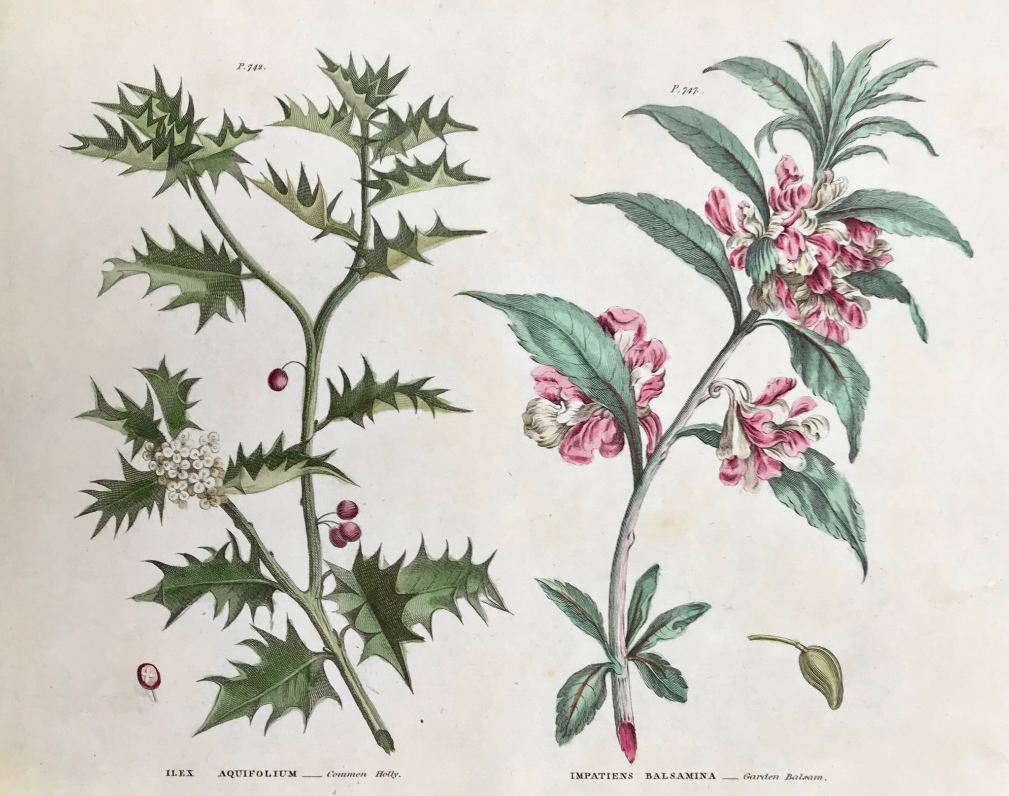 "Ilex Aquifolium Common Holly Impatiens Balsamina Garden Balsam  Antique Botanical Prints from ""The Universal Herbal"" by Thomas Green.  The complete title of this accurately and absolutely delightfully hand-colored work is: ""The Universal Herbal"", or Botanical, Medical, and Agricultural Dictionary, containing an Account of all the known Plants in the World arranged according to the Linnean System,"