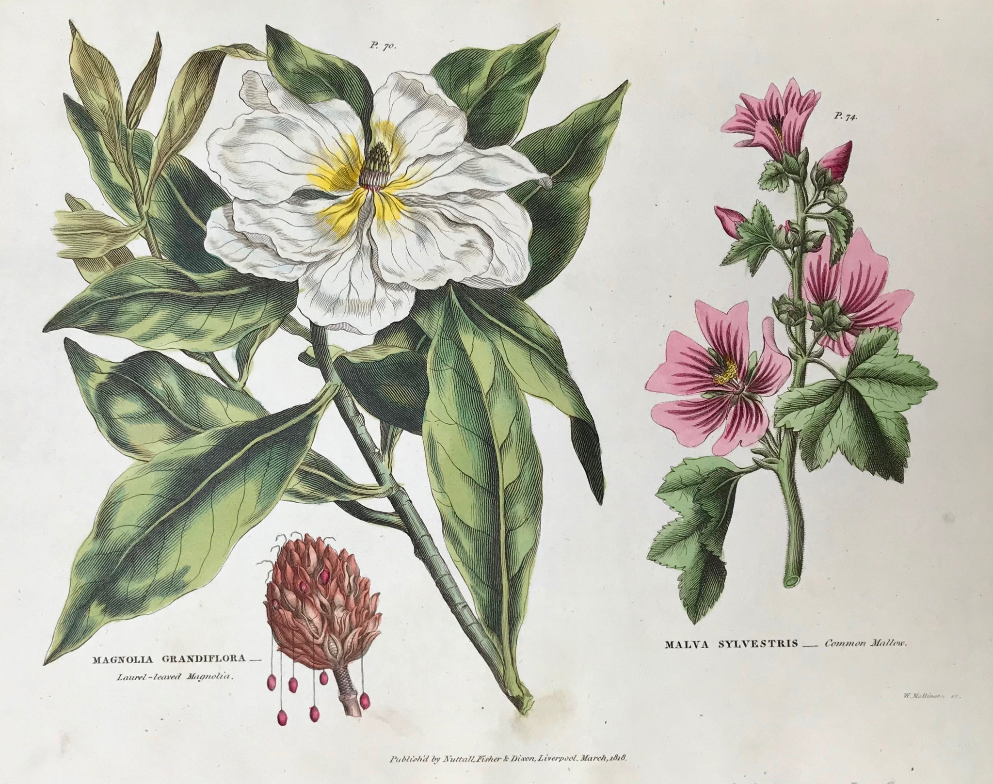 "Magnolia Grandiflora Laurel-Leaved Magnolia Malve Sylvestris Common Mallow  Antique Botanical Prints from ""The Universal Herbal"" by Thomas Green.  The complete title of this accurately and absolutely delightfully hand-colored work is: ""The Universal Herbal"", or Botanical, Medical, and Agricultural Dictionary, containing an Account of all the known Plants in the World ..."