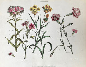 "Dianthus  Sweet William China Pink Mountain Pinks Carnation  Antique Botanical Prints from  ""The Universal Herbal"" by Thomas Green.  The complete title of this accurately and absolutely delightfully hand-colored work is: ""The Universal Herbal"", or Botanical, Medical, and Agricultural Dictionary"