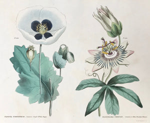 "Left side: Papaver Somniferum Common Single White Poppy. Right side: Passiflora Coerulea Common or Blue Passion Flower.   Antique Botanical Prints from  ""The Universal Herbal"" by Thomas Green.  The complete title of this accurately and absolutely delightfully hand-colored work is: ""The Universal Herbal"", or Botanical, Medical, and Agricultural Dictionary, containing an Account of all the known Plants in the World arranged according to the Linnean System, specifying the Uses to which they are..."