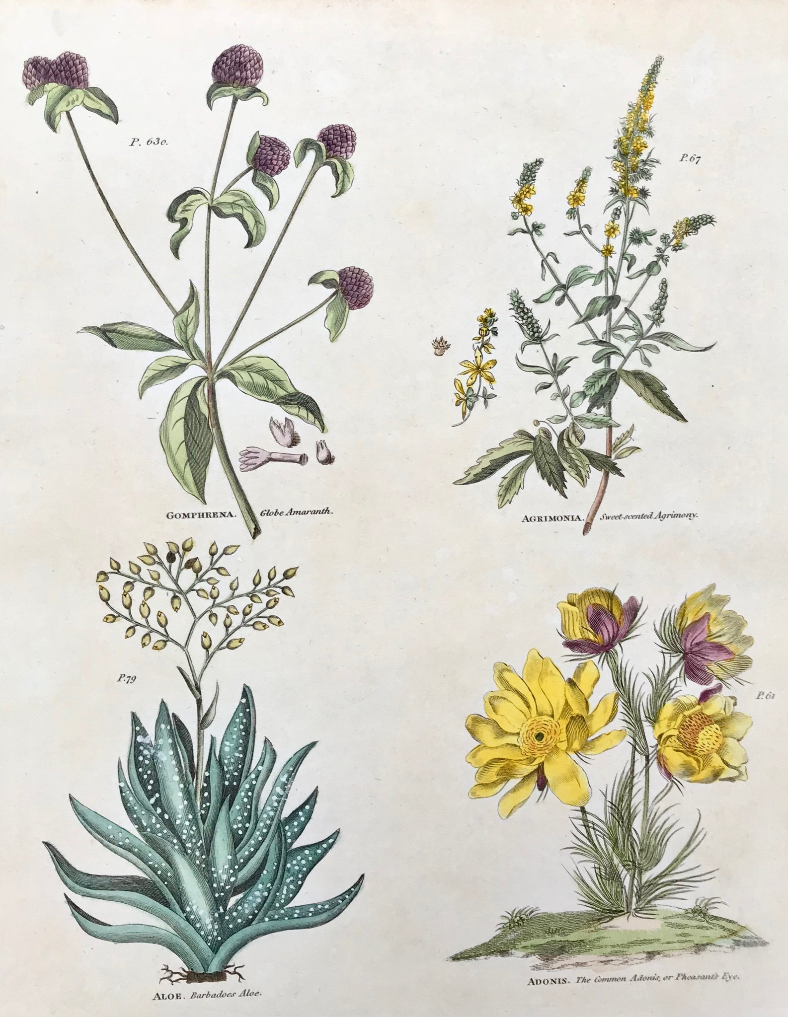 "Upper left: Gomphrena Globe Amaranth Upper right: Agrimonia Sweet-scented Agrimony Lower left: Aloe Barbadoes Aloe Lower right: Adonis. The Common Adonis or Pheasant's Eye.  Antique Botanical Prints from ""The Universal Herbal"" by Thomas Green.  The complete title of this accurately and absolutely delightfully hand-colored work is: ""The Universal Herbal"", or Botanical, Medical, and Agricultural Dictionary, containing an Accoun"