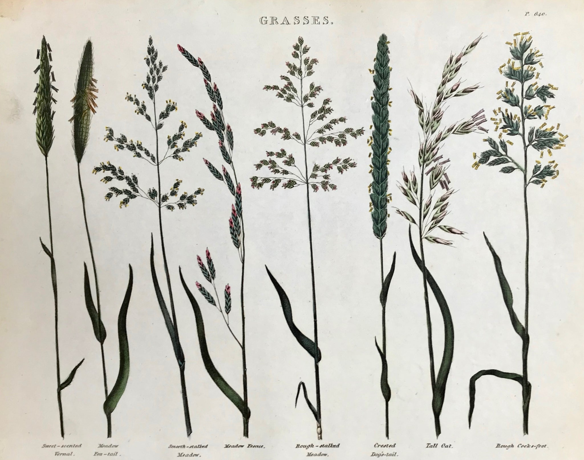 """Grasses""  Sweet-scented Vernal, Meadow Fox-Tail, Smooth-stalked Meadow, Meadow Fescue, Rough-stalked Meadow, Crested Dog's Tail, Tall Oat, Rough Cocks-foot.  Light browning in upper left margin corner.   Antique Botanical Prints from ""The Universal Herbal"" by Thomas Green.  The complete title of this accurately and absolutely delightfully hand-colored work is: ""The Universal Herbal"", or Botanical, Medical, and Agricultural Dictionary,"