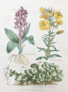"Upper left: Orchis Mascula Male, or Early Spotted Orchis. Upper right: Oenothera Great-flowered Tree Primrose. Bottom: Oaxalis Acetosella Common Wood Sorrel.     Antique Botanical Prints from  ""The Universal Herbal"" by Thomas Green.  The complete title of this accurately and absolutely delightfully hand-colored work is: ""The Universal Herbal"", or Botanical, Medical, and Agricultural Dictionary, containing an Account of all the known Plants in the World arranged according to the Linnean System,"
