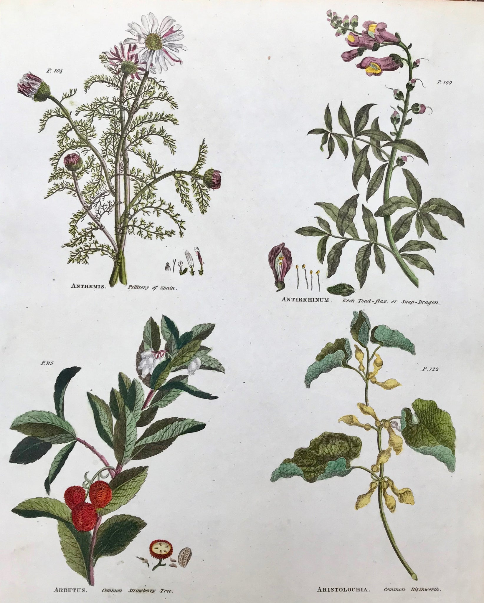 "Upper left: Anthemis Pellitory of Spain Upper right: Antirrhinum Rock Toad Flax or Snap Dragon Lower Left: Arbutus Common Strawberry Tree Lower right: Aristolochia Common Birthwort      Antique Botanical Prints from  ""The Universal Herbal"" by Thomas Green.  The complete title of this accurately and absolutely delightfully hand-colored work is: ""The Universal Herbal"", or Botanical, Medical, and Agricultural Dictionary, containing an Account of all the known Plants in the World arranged according to the"