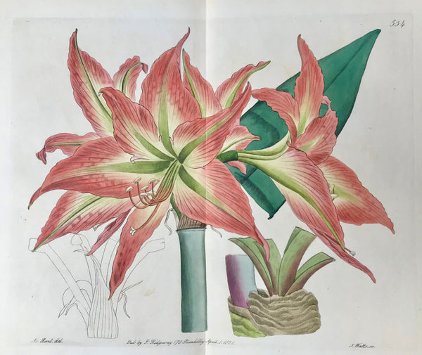 """Amaryllis acuminata"" Buenos Aires Amaryllis  Botanical Prints from ""The Botanical Register"".  The other day we had a chance to select from a collection these fine flower copper etching prints which stem from Sydenham Edwards' ""The Botanical Register"" which comprises a total of 2719 flower prints published in 33 volumes!!! published in London between 1815 and 1847."